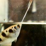 Рыба-брызгун, которая плюется водой: описание, условия содержания
