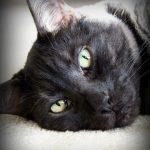 Азиатская кошка: описание породы, особенности и характеристики