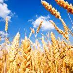 Яровая пшеница: технология возделывания, особенности посева, выращивания и ухода
