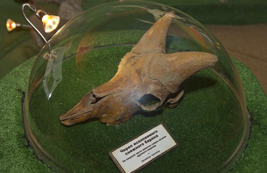Ископаемый череп барана
