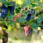 Как сохранить ветки винограда до весны? Эффективные методы