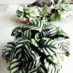 Calathea: уход в домашних условиях, размножение, полив, фото