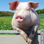 Крупная белая порода свиней: характеристика, описание, продуктивность и содержание