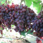 Сорт винограда кишмиш запорожский: описание, фото, особенности выращивания и ухода, вкусовые качес...