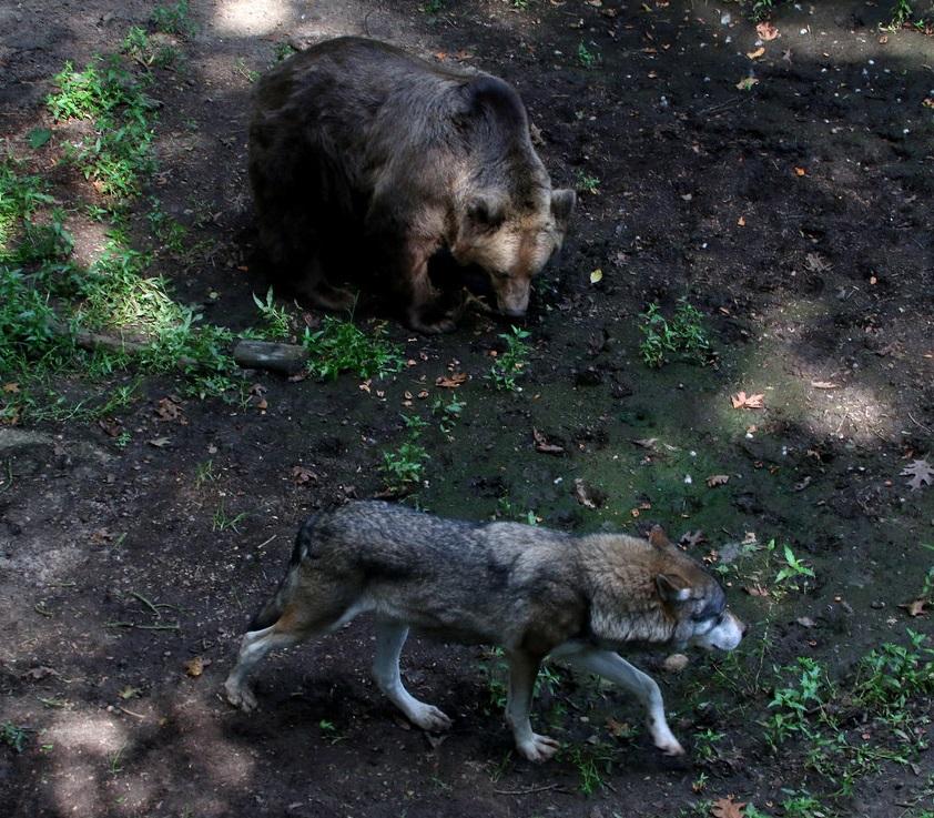 Серый волк и Бурый медведь