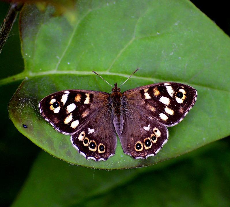 бабочка-краеглазка