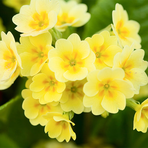 Растение первоцвет