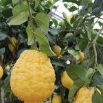Цитрон – это... Описание растения, выращивание, фото