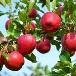 Сонник Миллера, яблоки во сне: значение и толкование