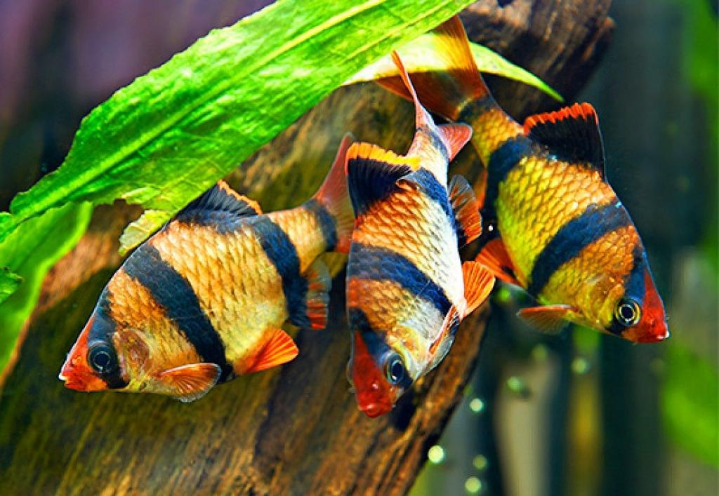 Барбус суматранский: как отличить самку от самца, описание разведение, фото
