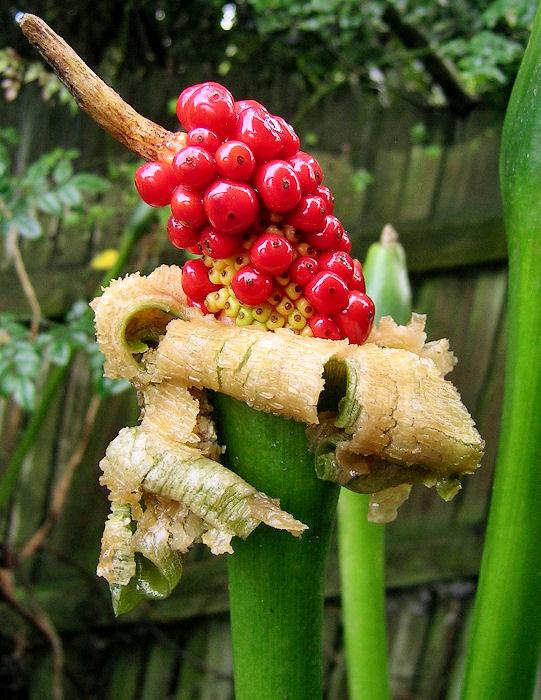 Плоды цветков таро
