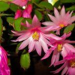 Цветок декабрист: как размножить, уход, фото