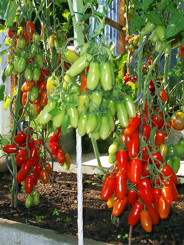Фляшен томат описание