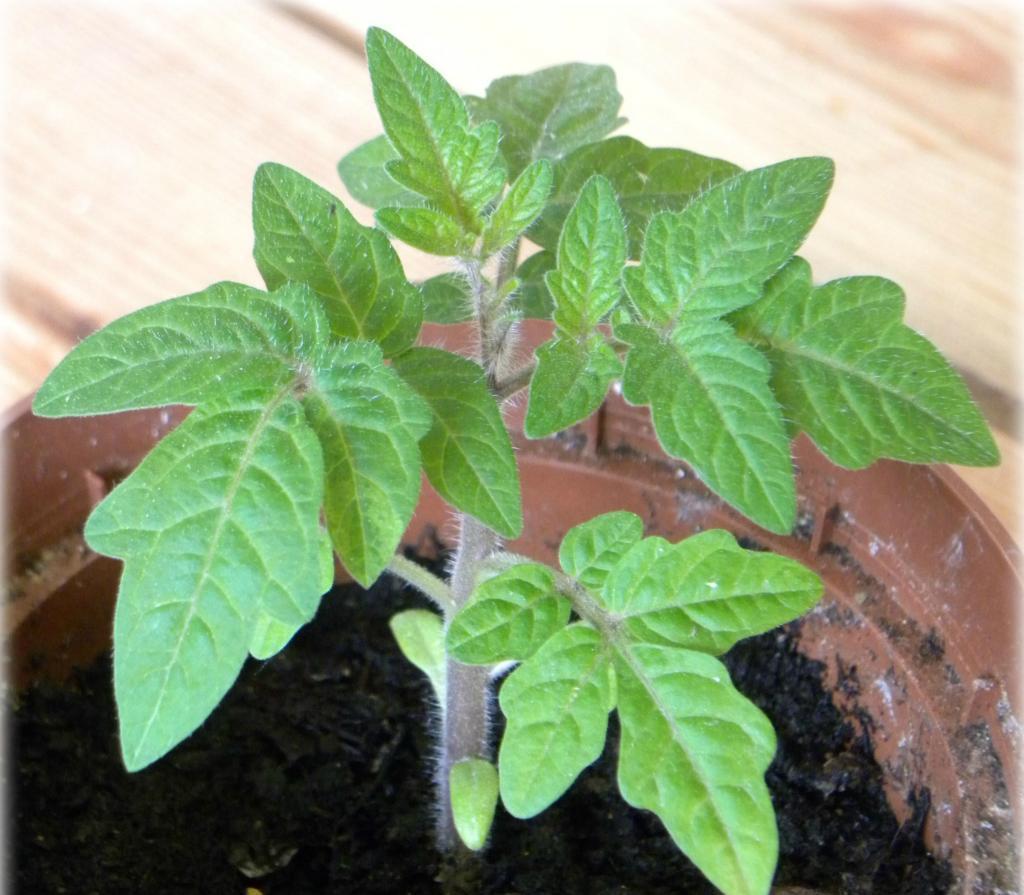 фляшен томат выращивание