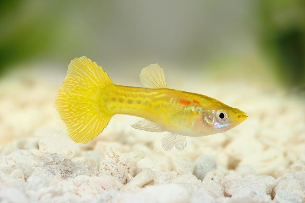 Желтый гуппи