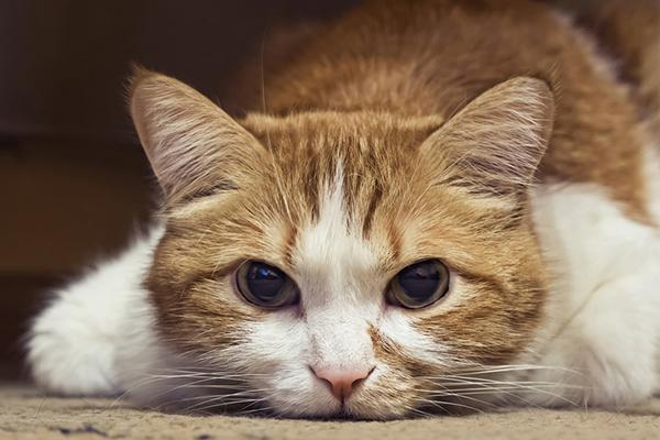 рвота у кота желтого цвета причины