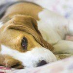 Артроз у собак: причины, симптомы, лечение