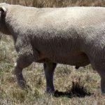 Мясные породы баранов: описание, содержание и разведение