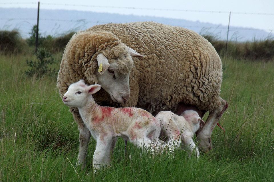 Мясные породы баранов в России
