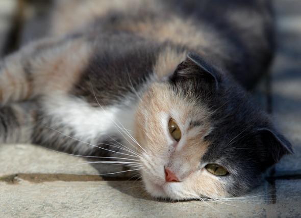 цирроз печени у кота