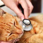 Цирроз печени у кошек и котов: причины, симптомы и лечение