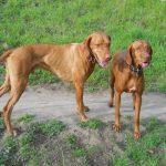 Как развязать кобеля: понятие, возраст для вязки, советы и рекомендации ветеринара