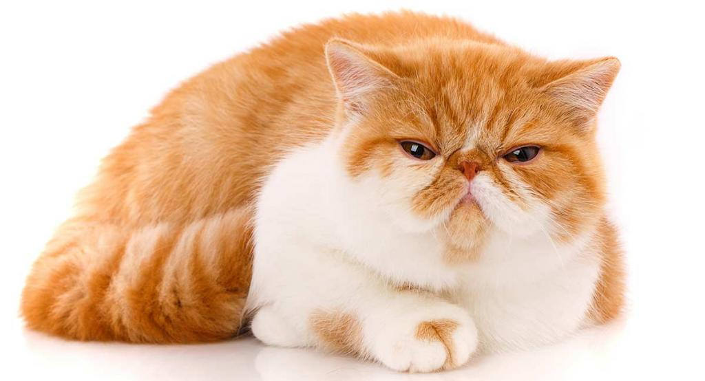 Кот экзот