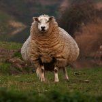 Беременность у овцы: сколько длится, способы определения и советы по уходу