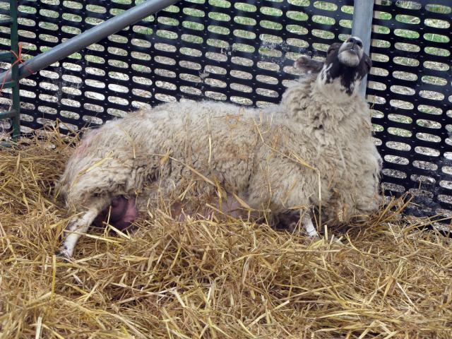 Овца готовится к родам