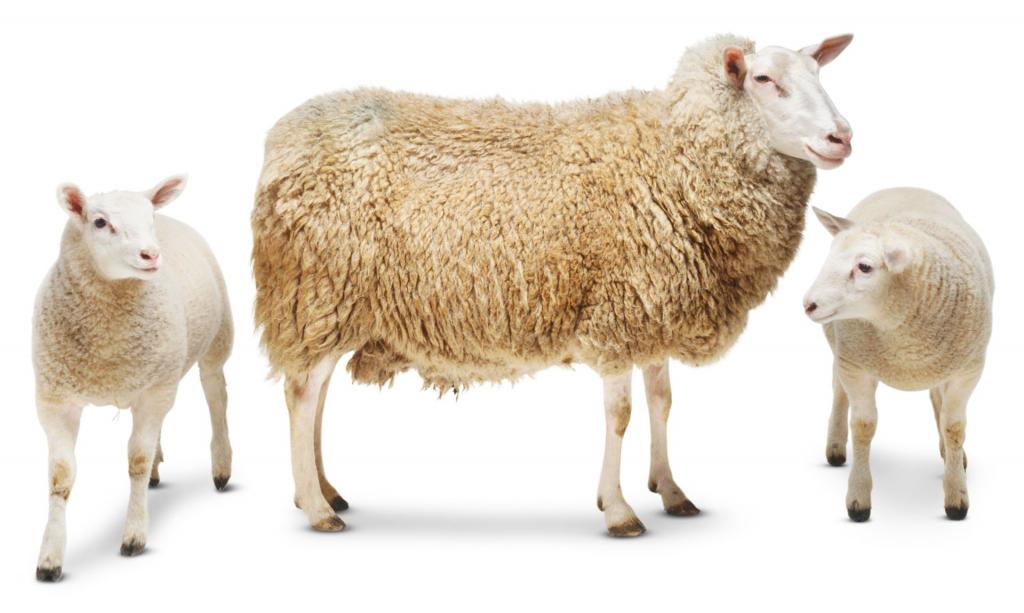 Овца с ягнятами